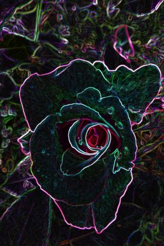 Edelrose Rot