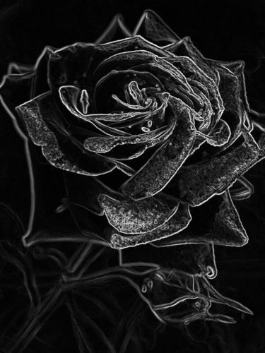 Rose Purpur Rot