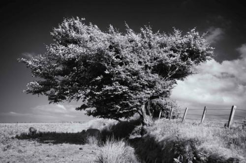 Windschiefer Feldrand Baum England