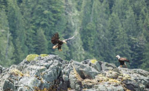 Landing Eagle Vancouver Island